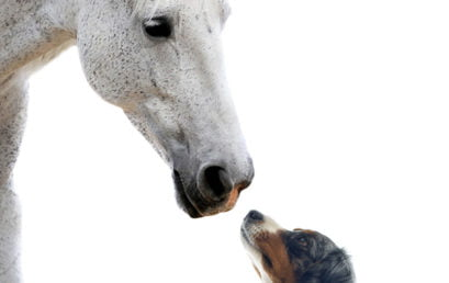 Diploma in Animal Osteopathy (Canine and/or Equine)